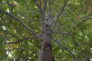 Tree Appraisals San Diego