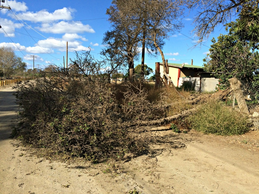 Uprooted and fallen tree near our equipment lot - 11/16/15