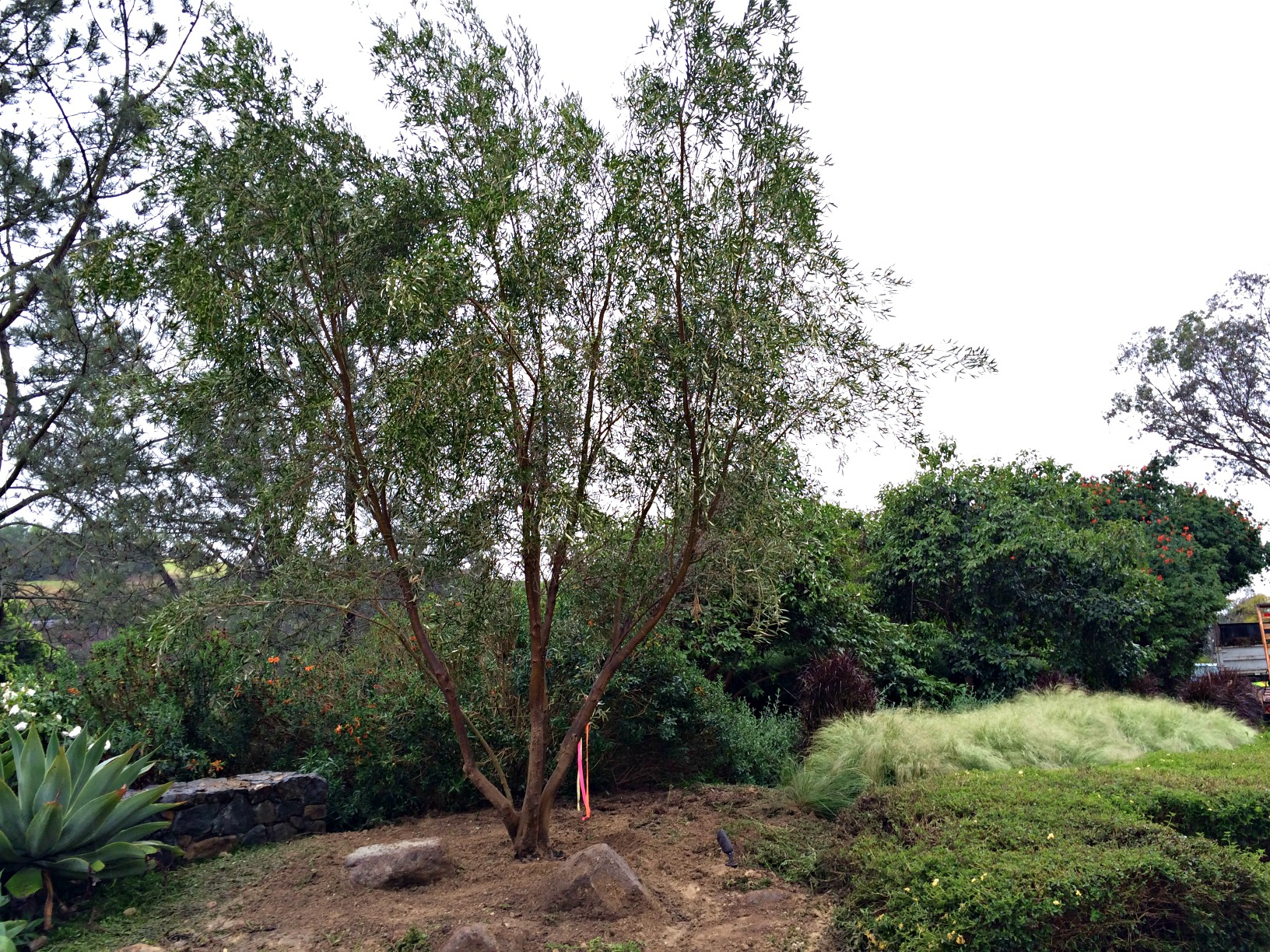 Olive tree planting in rancho santa fe for What to plant under olive trees
