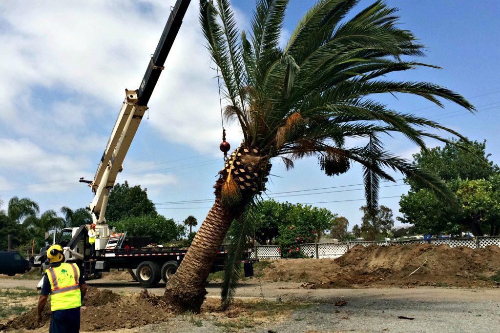 Tree Transplant San Diego