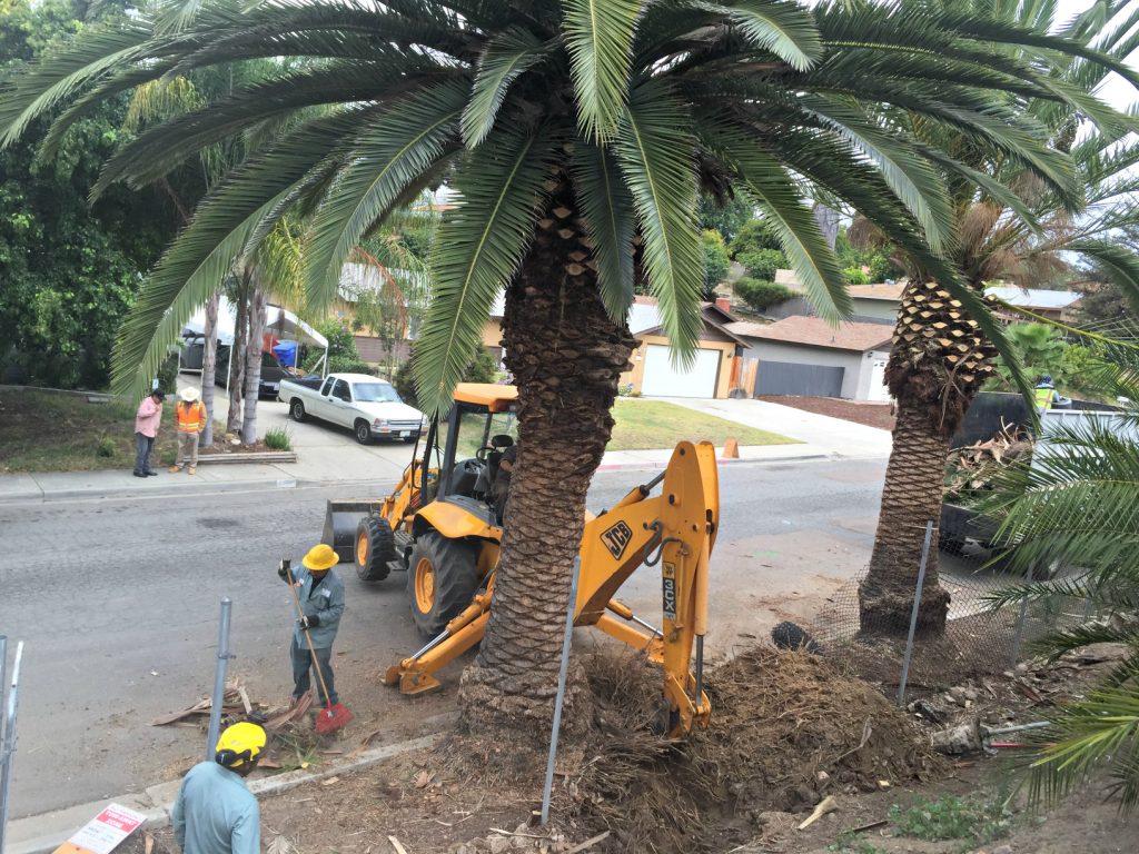 San Diego Tree Transplant