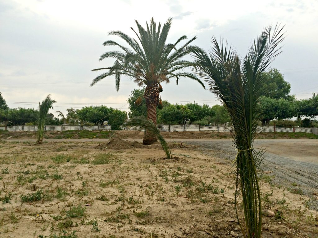 Canary Island Palm Tree Planting