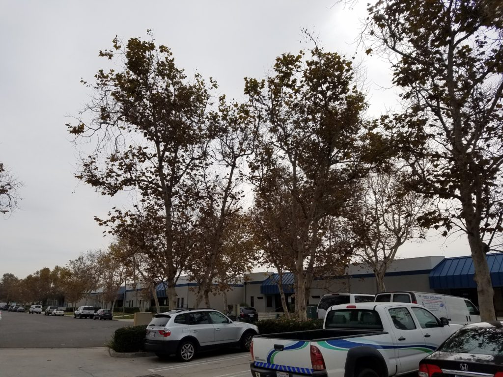 Tree Trimming in Chula Vista