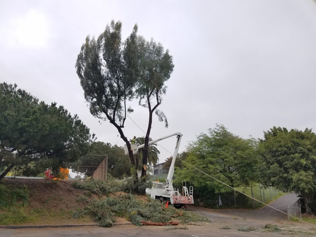 National City Eucalyptus Tree Removal